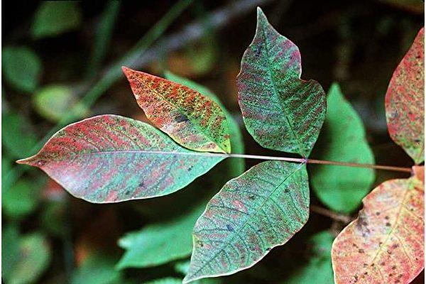 北美常见有毒植物之:毒漆树。(Robert H. Mohlenbrock/USDA SCS,公有领域)