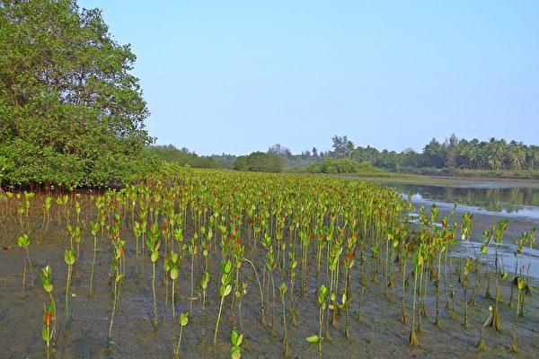 熱帶亞熱帶沿海潮間帶的常綠闊葉灌木群落——紅樹林。(公有領域)