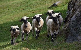 全球最可爱!瓦莱黑鼻羊如卡通 游客竞合影