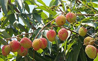 為什麼楊貴妃可以吃到荔枝?