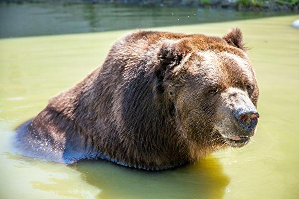 时年22岁的Jimbo在纽约州的孤儿野生动物中心泡澡。(Courtesy of James Smith)