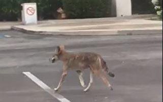 动物乐园?艾市停车场野生动物频出没