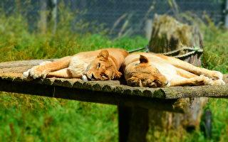 奧克蘭動物園重建耗資5800萬美元:與老虎眼對眼