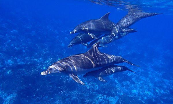 """交朋友讲究志同道合,一项最新研究发现,海豚也有类似的""""价值观"""",喜欢选择与自己有同样兴趣爱好的海豚。(授权影片截图)"""