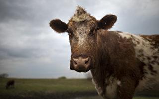 紐約農場提供摟抱牛隻服務 每小時75美元