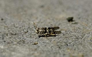 大批蝗蟲入侵美國賭城 雷達上看得到