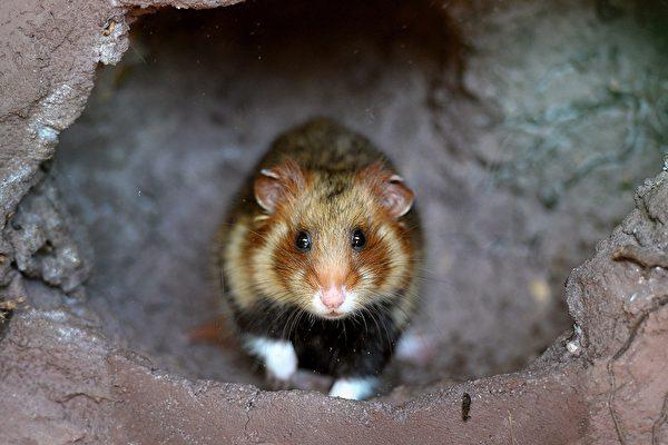荷兰出现异象 数百只老鼠集体死亡