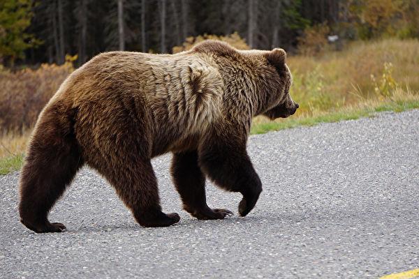 不少人曾拍下这只大熊和同伴向人类挥手的影片。狗熊示意图。(Shutterstock)