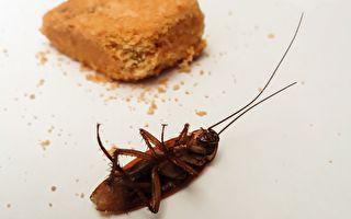 蟑螂耐多種殺蟲劑 抗體遺傳1代增4至6倍