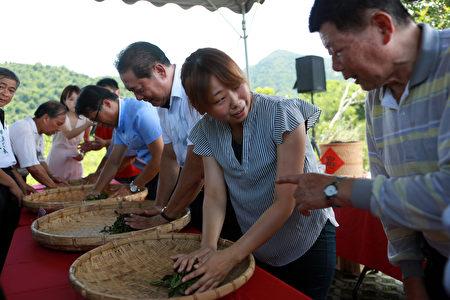茶農示範揉茶,邀請來賓進行揉茶。