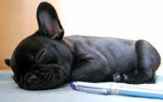 沉睡的小法国斗牛犬。示意图。(公有领域)