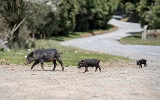 安省野猪成患 专家吁公众追踪猪迹