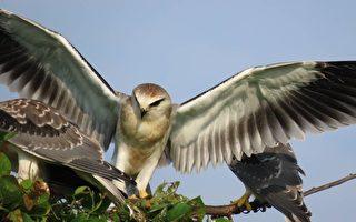 组图:台最美猛禽黑翅鸢 养育3幼鸟画面吸睛