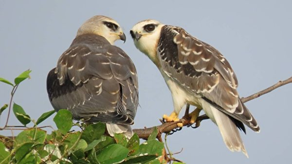 組圖:猛禽黑翅鳶築巢育雛 3幼鳥吸睛引人潮