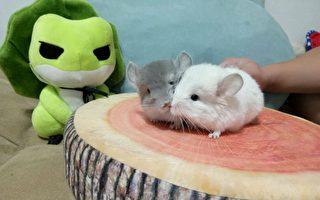 新萌宠报到——胖龙猫&呆陆龟