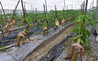 连日豪雨木瓜灾损严重 农委会同意现金救助