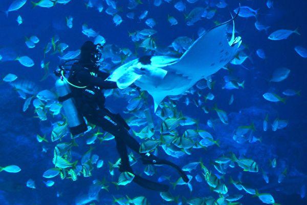 神祕的海底世界奧妙無窮,總是讓喜歡探索藍色世界的人們驚奇連連,樂在其中,澳洲浮潛教練傑克·威爾頓(Jake Wilton)就見證了一個神奇的事件。示意圖。圖為一名工作人員餵食鬼蝠魟的畫面。攝於新加坡聖淘沙的海洋館 (S.E.A. Aquarium),2019年3月14日。(ROSLAN RAHMAN/AFP/Getty Images)。