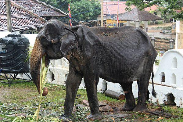 骨瘦如柴的70岁大象被迫参加游行 网民心痛