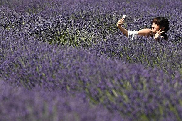 组图:法国一望无际的薰衣草花海 紫色梦幻