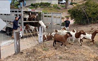 PVE僱山羊除草 警告遊客別打擾其工作