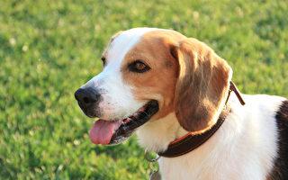 研究发现,狗能嗅出肺癌、大肠癌等癌症,而且准确率相当高。(Pixabay)