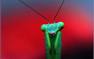 【无鱼坊的摄影心视界】—绿衣螳螂拳击手