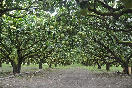 白露距离中秋只有5天,瑞穗文旦今年采收期特别提早,目前采收大果为主,小果预计25日起采收。