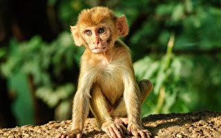 秘鲁发现远古猴子新品种 只有仓鼠大