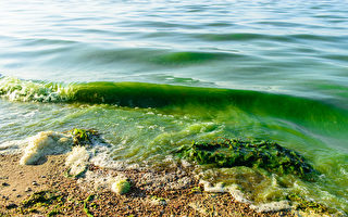 北美伊利湖暴发毒藻 科学家密切关注