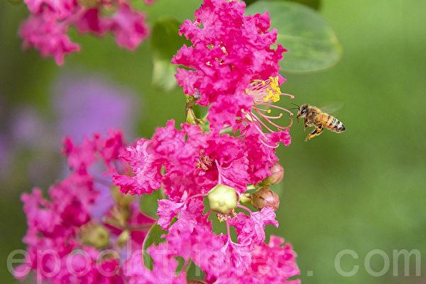 组图:韩国仁川大公园 紫薇花盛开
