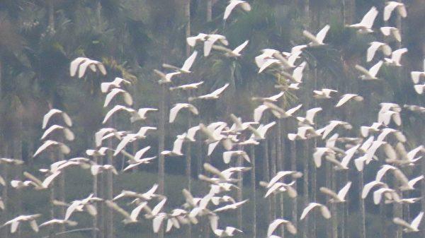 组图:世界级景观万鹭朝凤 黄头鹭大迁徙