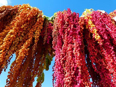 台灣特有種的紅藜,營養成分讓人驚歎。