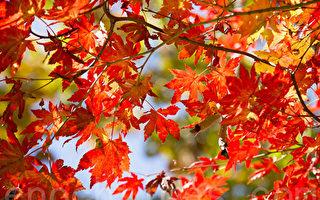 秋葉色彩斑斕 哪裡觀美景最佳?