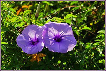 花為淡紫紅色,直徑可達8公分,形狀很像一支小喇叭。