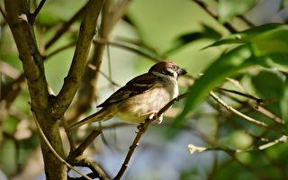 北美洲鸟类数量骤降 50年减少近30亿只