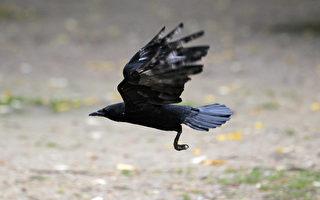 為報「殺子之仇」 烏鴉連續3年攻擊印度男子