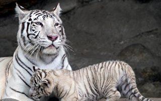秘鲁动物园三只幼虎命名活动 含罕见白虎