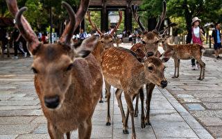 組圖:日本奈良鹿夏日神祕聚會 每天幾百隻