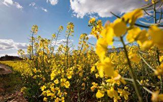 中共禁油菜籽進口 加拿大向WTO提出交涉