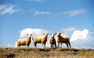 羊肉價格創歷史新高