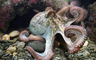 章鱼在睡觉时身体迅速变色 专家:它在做梦