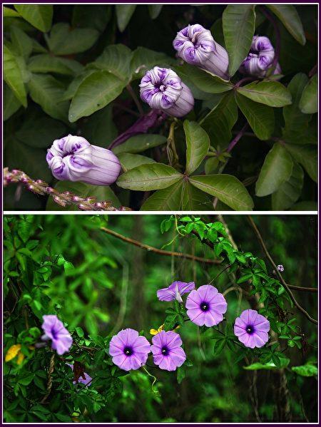 可做綠籬、綠廊、地被,美化用,盛夏時期,它的花朵多得猶如一片紫色花海。
