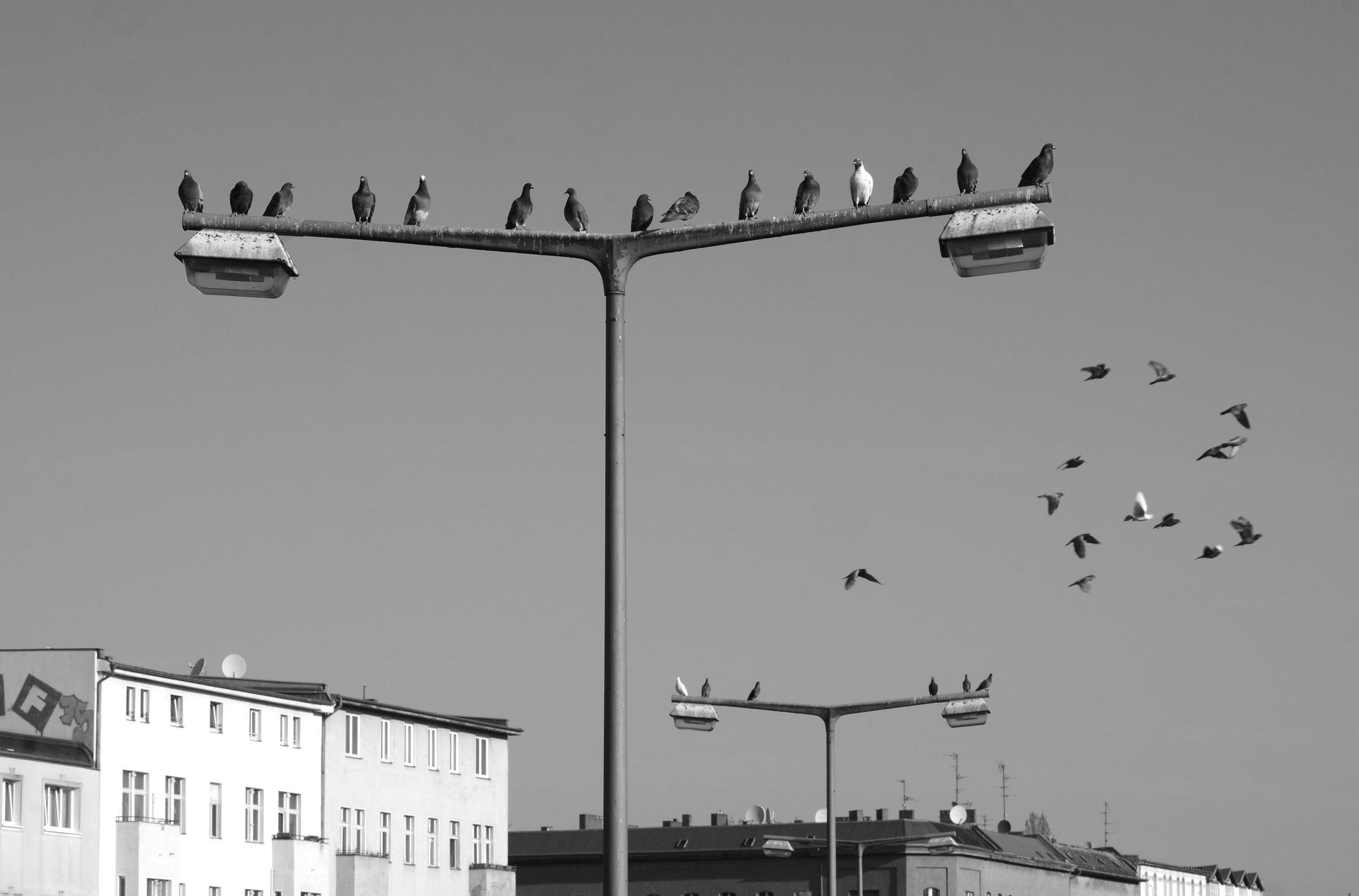 北京上空禁飛鴿子 美國民眾怎麼說