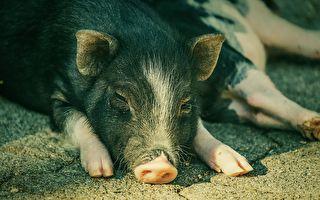 農業部緊急開會 商討抵禦非洲豬瘟登陸澳洲