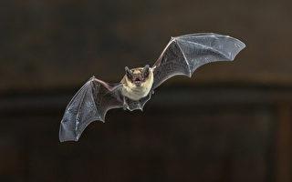 蝙蝠染狂犬病毒 多伦多市民需远离野生动物