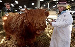 世界最萌牛 像绒毛娃娃的苏格兰高地牛