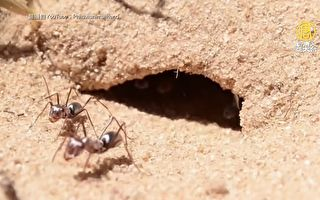 撒哈拉银蚁 世界最快蚂蚁 速度每秒近一米
