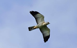 赤腹鷹過境墾丁  逾25萬破31年紀錄