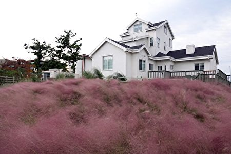 济州粉红乱子草。