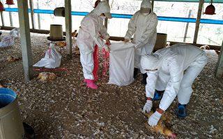 屏東九如土雞場染禽流感  近18000土雞撲殺